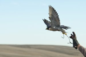 In California, Falcons Are Keeping Nuisance Birds off Farms