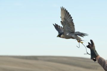 The History and Value of the Ancient Art of Falconry