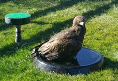 BATH PANS EXTRA LARGE FOR EAGLES AND OTHER LARGE RAPTORS 23.5 INCH DIAMETER SHIPS ONLY USING UPS GROUND