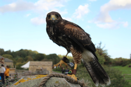 Buy Falconry Supplies Online