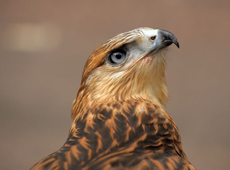 Falconry Equipment Online